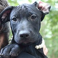 Adopt A Pet :: Padma Lakshmi - Raleigh, NC