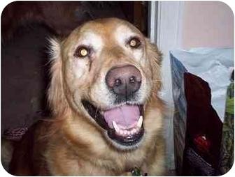 Golden Retriever Dog for adoption in Evergreen, Colorado - Tomi
