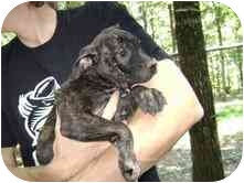 American Pit Bull Terrier Mix Puppy for adoption in Minneapolis, Minnesota - Maddie
