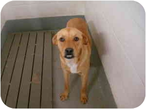 Retriever (Unknown Type) Mix Dog for adoption in Greenville, North Carolina - Ricky
