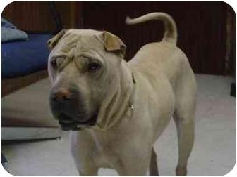 Shar Pei Dog for adoption in Houston, Texas - Jackie Chan