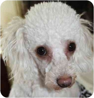 Poodle (Toy or Tea Cup) Dog for adoption in Dover, Massachusetts - Charlie & Maggie