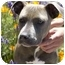 Photo 1 - American Pit Bull Terrier Mix Puppy for adoption in Berkeley, California - Chili