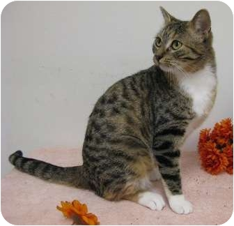 Domestic Shorthair Cat for adoption in Columbus, Nebraska - Casey