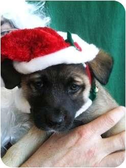 Akita/Australian Shepherd Mix Puppy for adoption in Lancaster, Kentucky - Halo