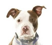 American Pit Bull Terrier Mix Dog for adoption in Brooklyn, New York - Twinkle