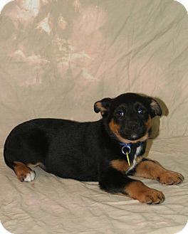 Shepherd (Unknown Type)/Retriever (Unknown Type) Mix Puppy for adoption in Westminster, Colorado - Boo
