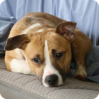 Corgi/Basset Hound Mix Dog for adoption in Edmonton, Alberta - Shorty