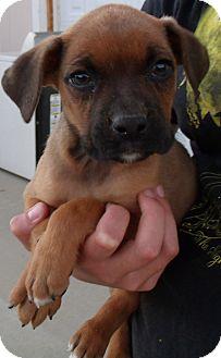 Boxer/Labrador Retriever Mix Puppy for adoption in Corona, California - BOXER BABIES D