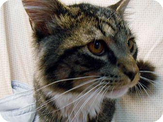 Domestic Mediumhair Cat for adoption in Murphysboro, Illinois - Adidas