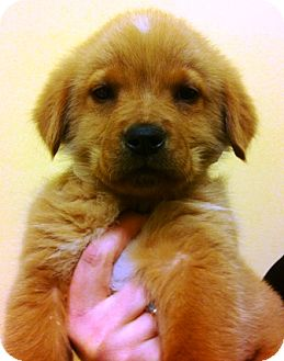 Golden Retriever Mix Puppy for adoption in Oswego, Illinois - I'M ADOPTED Frosty Dorazio