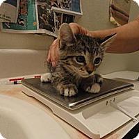 Adopt A Pet :: White Paws - Phoenix, AZ