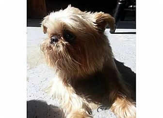 Brussels Griffon Dog for adoption in Montara, California - JAXX - ADOPTION PENDING