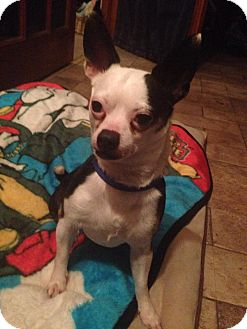 Chihuahua Dog for adoption in Groton, Connecticut - Romeo