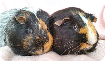 Guinea Pig for adoption in Blackstock, Ontario - Gandalf (NM) & Sophie (F)