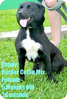 Border Collie Mix Puppy for adoption in Beaumont, Texas - Poppy