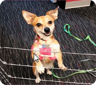 Chihuahua/Terrier (Unknown Type, Small) Mix Dog for adoption in Las Vegas, Nevada - REESEY (CAT FRIENDLY)