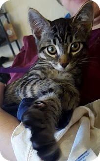 Domestic Shorthair Cat for adoption in San Marcos, Texas - Rowdy