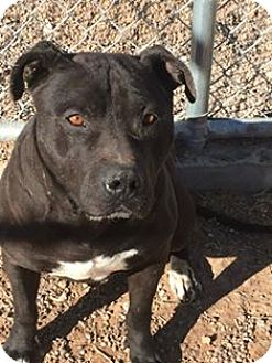 Pit Bull Terrier Mix Dog for adoption in Lubbock, Texas - Brady (URGENT Courtesy Listing