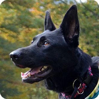 German Shepherd Dog Dog for adoption in New Ringgold, Pennsylvania - Sassy