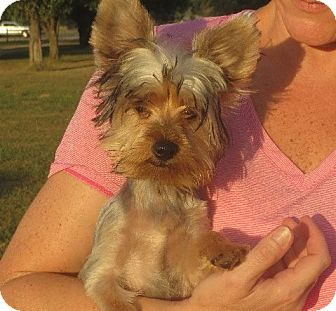Yorkie, Yorkshire Terrier Puppy for adoption in Salem, New Hampshire - Ernest