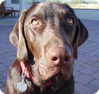 Labrador Retriever Dog for adoption in Phoenix, Arizona - Buster