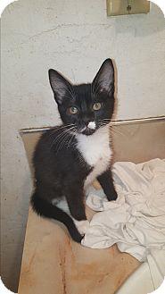 Domestic Shorthair Kitten for adoption in Tumwater, Washington - Stimpy