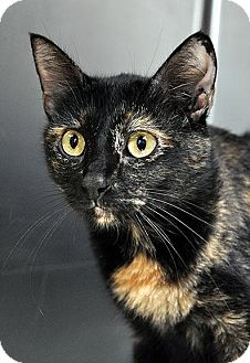 Domestic Shorthair Cat for adoption in Fort Leavenworth, Kansas - Milly