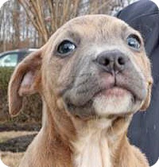 Pit Bull Terrier Mix Puppy for adoption in Spokane, Washington - Basel