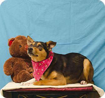 Shepherd (Unknown Type) Dog for adoption in Poteau, Oklahoma - ADDISON