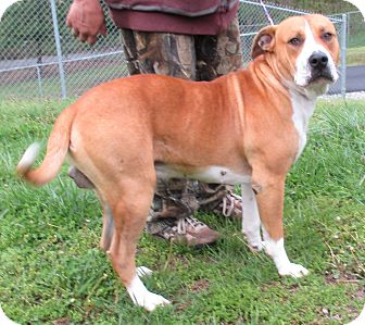 Hound (Unknown Type) Mix Dog for adoption in Reeds Spring, Missouri - Bubba