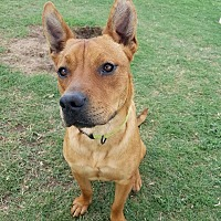 Adopt A Pet :: Simba - Norman, OK