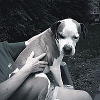 Boxer Mix Dog for adoption in Madison, Wisconsin - Kadir: Calm adult dog