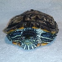 Adopt A Pet :: Sheldon - Pefferlaw, ON