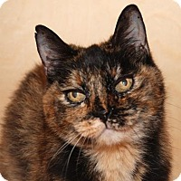 Domestic Shorthair Cat for adoption in San Francisco, California - Tori
