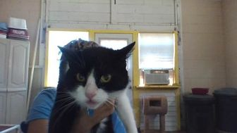 Domestic Shorthair/Domestic Shorthair Mix Cat for adoption in Henderson, Kentucky - Squeaky