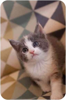 Domestic Shorthair Kitten for adoption in Farmington, Michigan - Chrystal