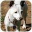 Photo 1 - Jack Russell Terrier Mix Dog for adoption in Harrah, Oklahoma - Travler