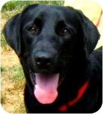 "Labrador Retriever Dog for adoption in Pawling, New York - CHAPMAN(A ""GENTLE""-GENTLEMAN)"