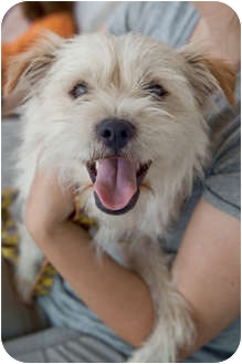 Jack Russell Terrier/Terrier (Unknown Type, Small) Mix Puppy for adoption in Los Angeles, California - Mikey