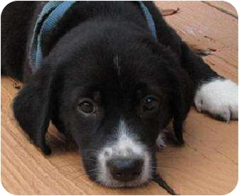 Border Collie Mix Puppy for adoption in Oakland, Arkansas - Bee