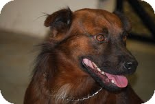 Chow Chow Mix Dog for adoption in Coventry, Rhode Island - Rusty