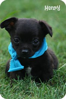 Chihuahua/Pug Mix Puppy for adoption in Cranford, New Jersey - Henry