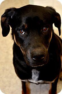 Blue Heeler/Shepherd (Unknown Type) Mix Dog for adoption in Fort Smith, Arkansas - Bobby