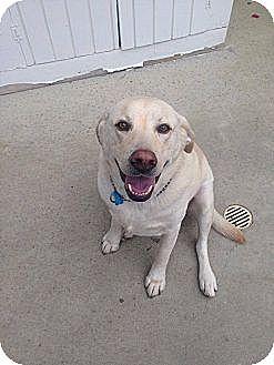 Labrador Retriever Mix Dog for adoption in West Los Angeles, California - Noah