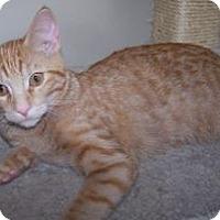 Adopt A Pet :: K-Peanut2-Goldman - Colorado Springs, CO