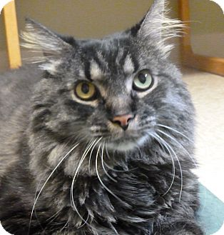 Maine Coon Cat for adoption in Hastings, Nebraska - Watson