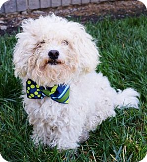 Miniature Poodle Mix Dog for adoption in Dublin, California - Riley