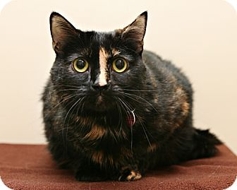 Domestic Shorthair Cat for adoption in Bellingham, Washington - Belliana