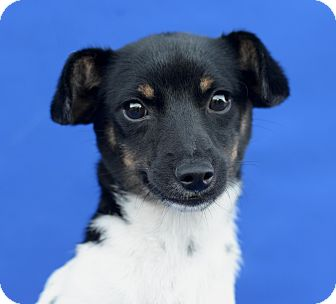 Terrier (Unknown Type, Small)/Rat Terrier Mix Puppy for adoption in LAFAYETTE, Louisiana - DOTTIE
